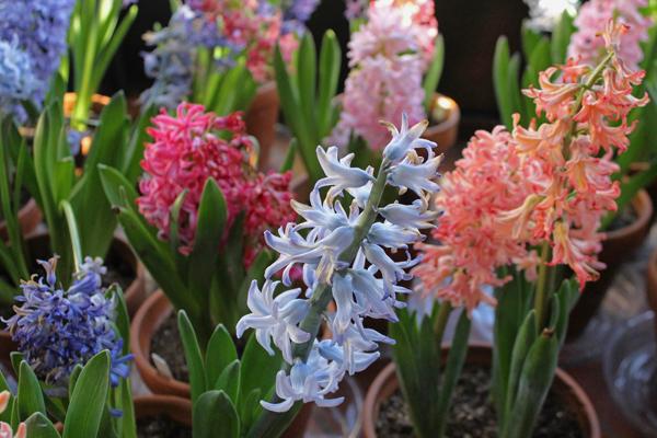 hyacinth rochester ny