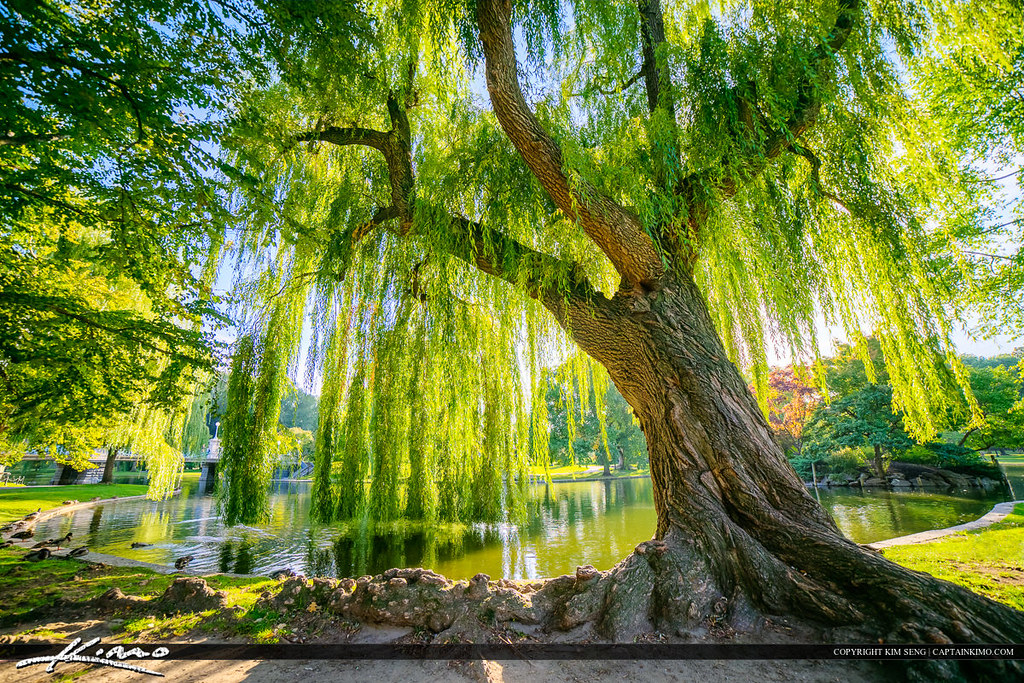 Wispering willow tree boston public garden two exposure hd flickr Boston public garden map