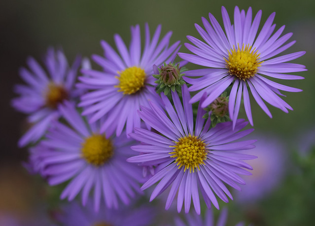 Purple asters flickr photo sharing