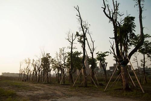 移植到南港流行音樂中心的57株樹木陸續發生枯死、根部腐爛狀況。張岳梅拍攝,松菸志工提供