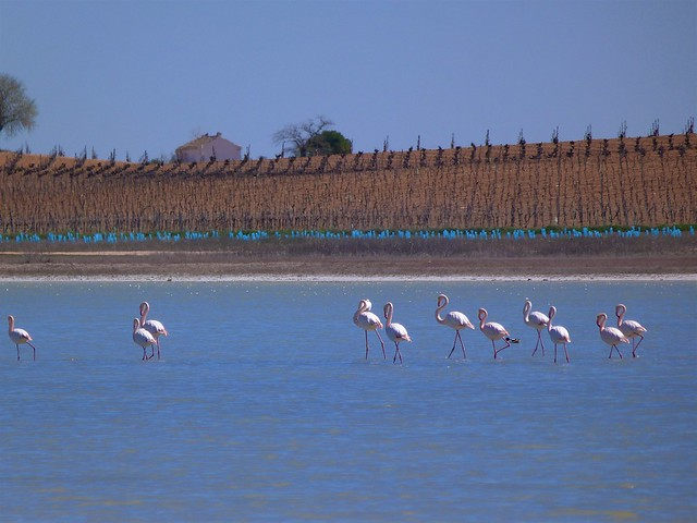 Flamencos en la laguna de Manjavacas (Cuenca)