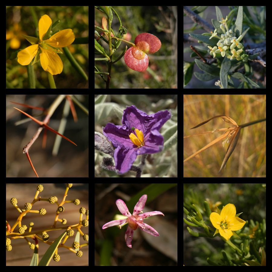 Angorichina Winter Flora, Northern Flinders Ranges