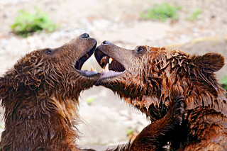 Fighting bears | by Tambako the Jaguar