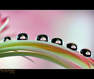 ROSE  DROPS | by RASHID ALKUBAISI