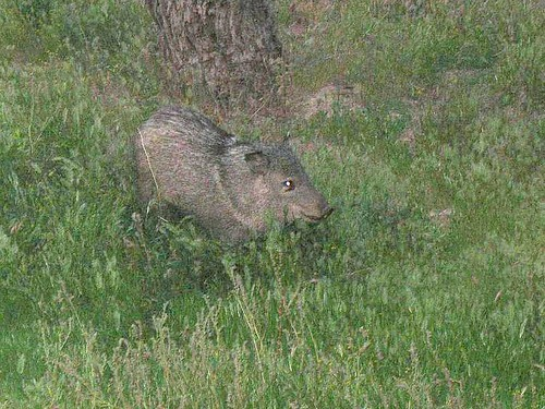 wild hairy javelina | by pinkpicketfence