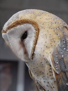 Barn Owl | by purplefairy3