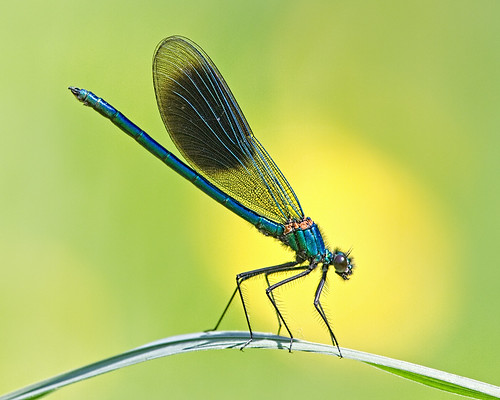 Banded Demoiselle | by Andrew Haynes Wildlife Images