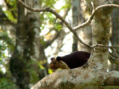 Malabar Giant Squirrel (4) | by Ganesh-B.R.Hills