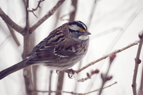 White-striped White-throated Sparrow (Zonotrichia albicollis) Great Backyard Bird Count 2010 | by Stephen Little