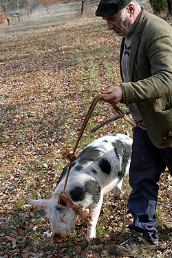 truffle hunting with pig x | by David Lebovitz