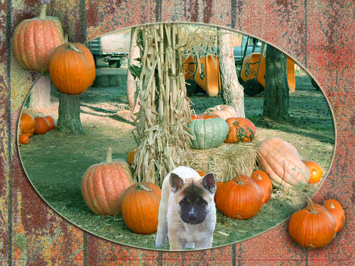 Puppy in the Pumpkin Patch | by ihave3kids