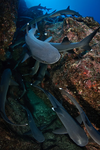 Isla del Coco - Whitetip Sharks | by Bigeye Bubblefish [  Addict  ]