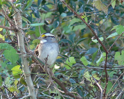 White-throated Sparrow - 2