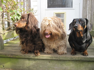 The Dachshund Diversity | by Tobyotter