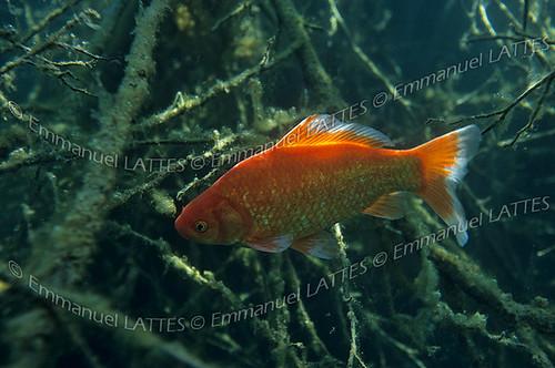 Poisson rouge carpe koi cyprinus carpio carpio en for Croisement carpe koi poisson rouge