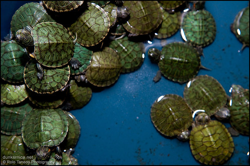 Baby Turtles. | by dunksrnice