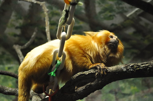 Golden Lion Tamarin | by lizboes