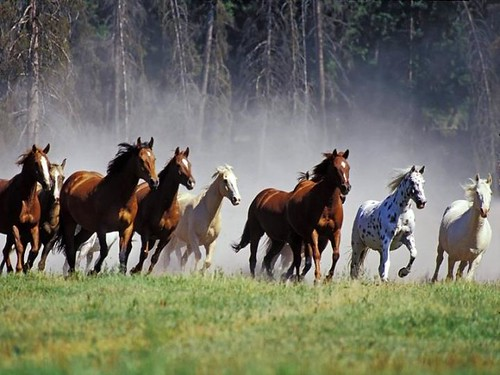 Beautiful horses, light as the wind !!! | by yvon Merlier