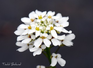 Iberis sempervirens | by Todd Boland