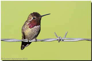 Anna's Hummingbird | by birdsforlife