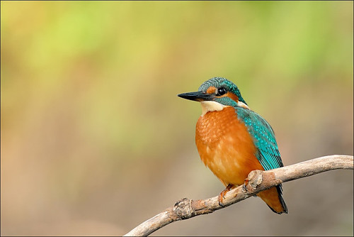 Kingfisher | by Antonio Bortoli