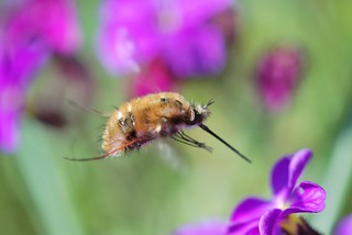 bombylius major | by sure2talk