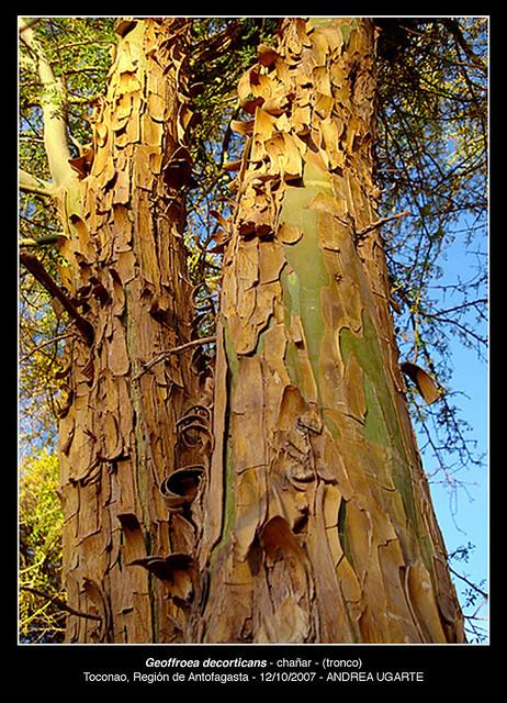Geoffrea decorticans - corteza tronco