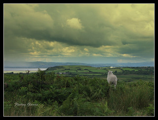 484.  Lonely lamb ...... | by fleetingglances