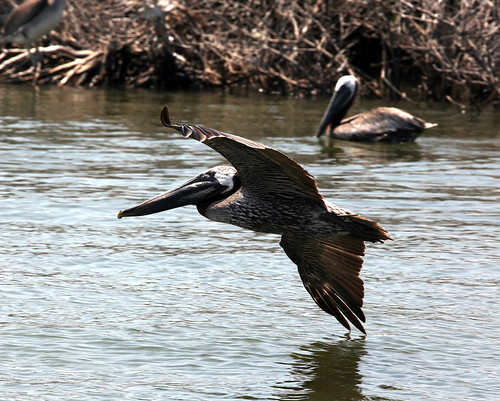 Flying pelican grand bay | by USFWS/Southeast