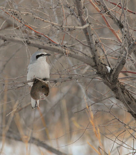 Hunt with the Northern Shrike | by prairiedog (in and out)