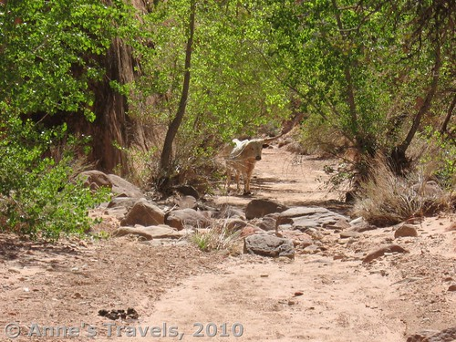 And then there are the things no one could have expected, like this cow blocking the trail to Broken Bow Arch in Utah