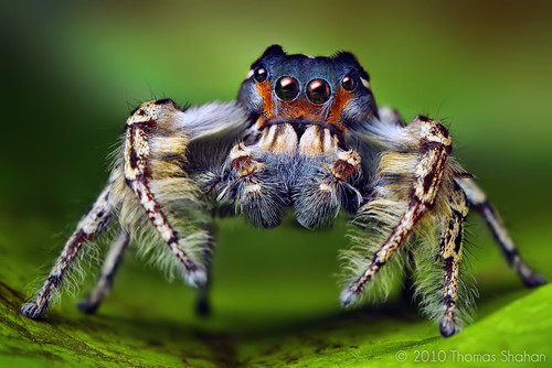 Adult Male Phidippus putnami Jumping Spider | by Thomas Shahan