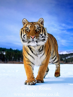 tiger_andyrouse_TG1078b_00075 | by wildmanrouse