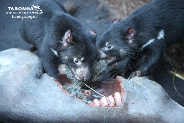 how marsupials adapt to the arid Plant & animal adaptations to arid environments rng 352: by michael richardson home plant adaptations carnivores, marsupials, and ungulates.
