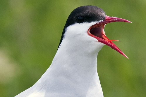 Arctic Tern | by U. S. Fish and Wildlife Service - Northeast Region