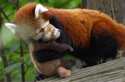 Chester Zoo - Baby Red Panda | by Romeoliverpool