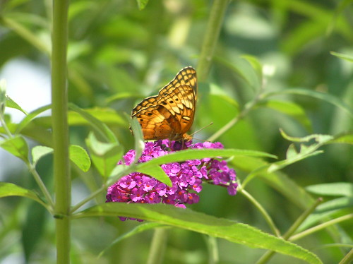 Variegated Fritillary Butterfly 3 | by 78spacecadet