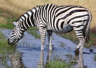 Zebra drinking | by SJDennis