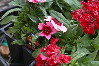 Dianthus | by niftyfoodie