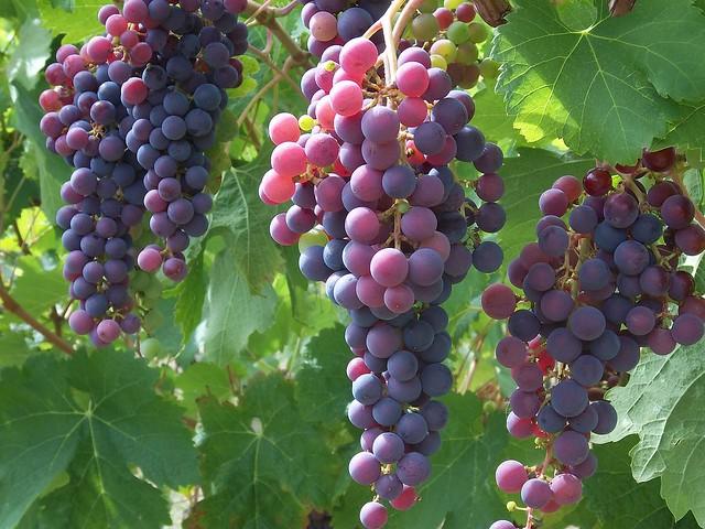 harvest is ripening