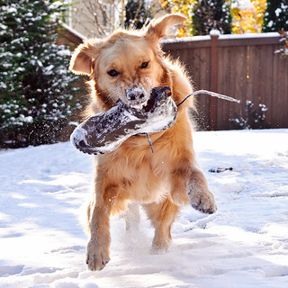 Snow day! (149 of 365) | by Brady the Golden Retriever