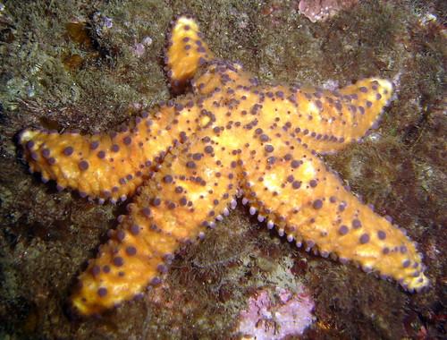 Beaded Seastar