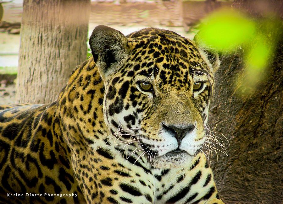 Yaguarete / Jaguar
