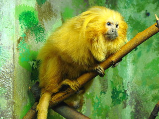 Golden Lion Tamarin in Profile | by Paula~Koala
