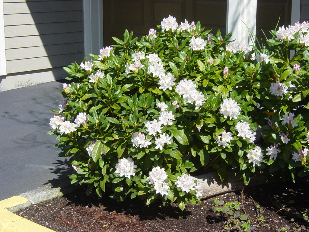 rhododendron 39 cunninghams white 39 flr wbla corky flickr. Black Bedroom Furniture Sets. Home Design Ideas