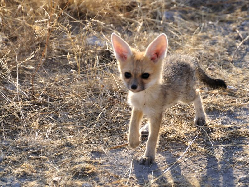 Cape Fox Kit Cape Fox Kit Seen On Dirt Road Near Anderson Flickr