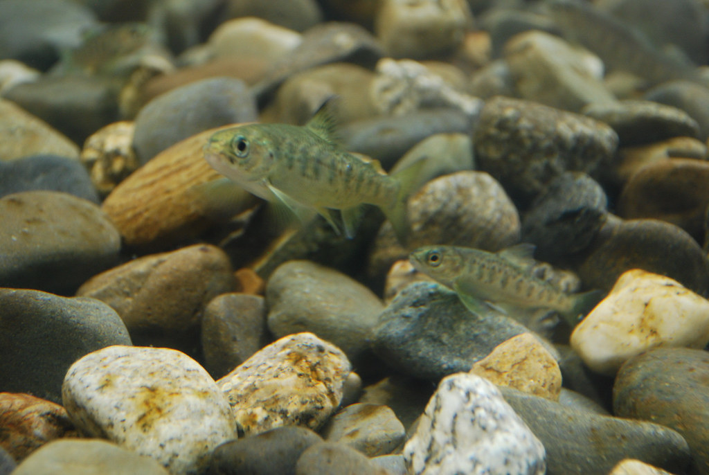 Atlantic Salmon Parr in Cobble Habitat | Atlantic salmon ...Atlantic Salmon Parr