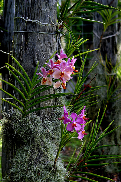 Vanda Orchid Vanda On Old Bridge Timbers The Spanish