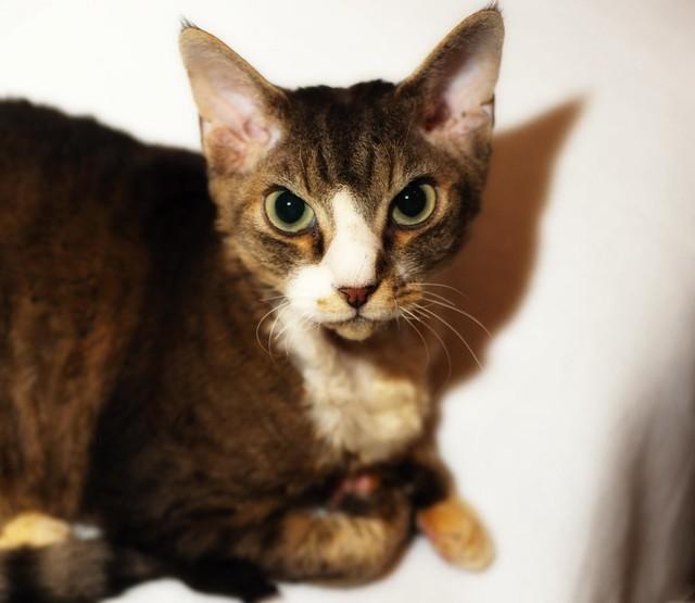 Bad Cat Siamese Drive Price Uk