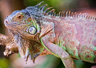 Green Iguana | by ishafizan